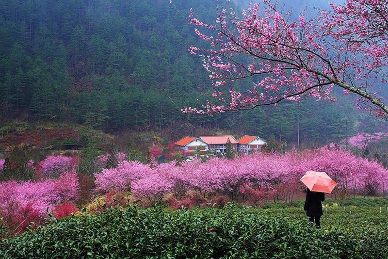 цветение сакуры Тайвань
