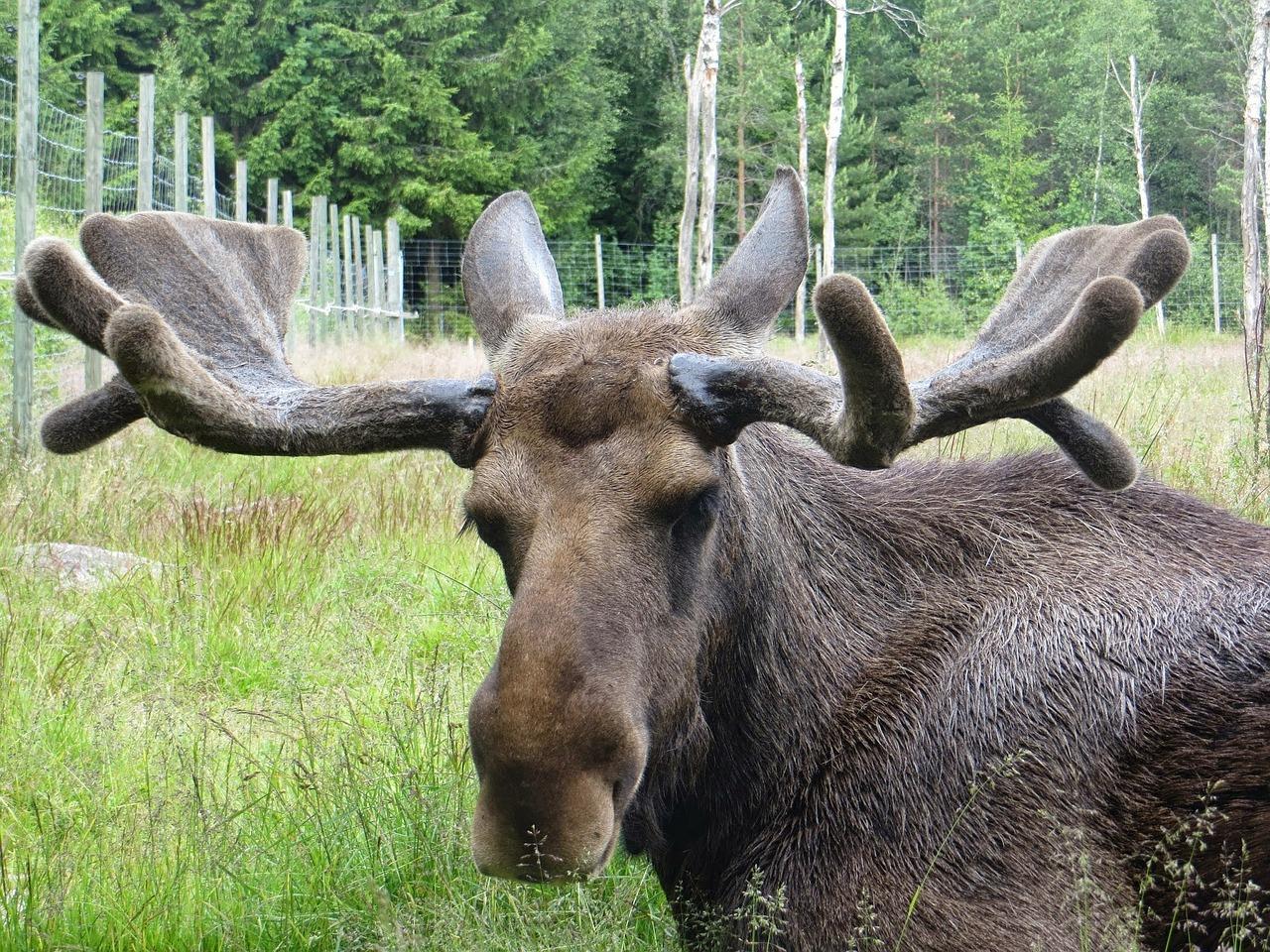 moose-381256_1280