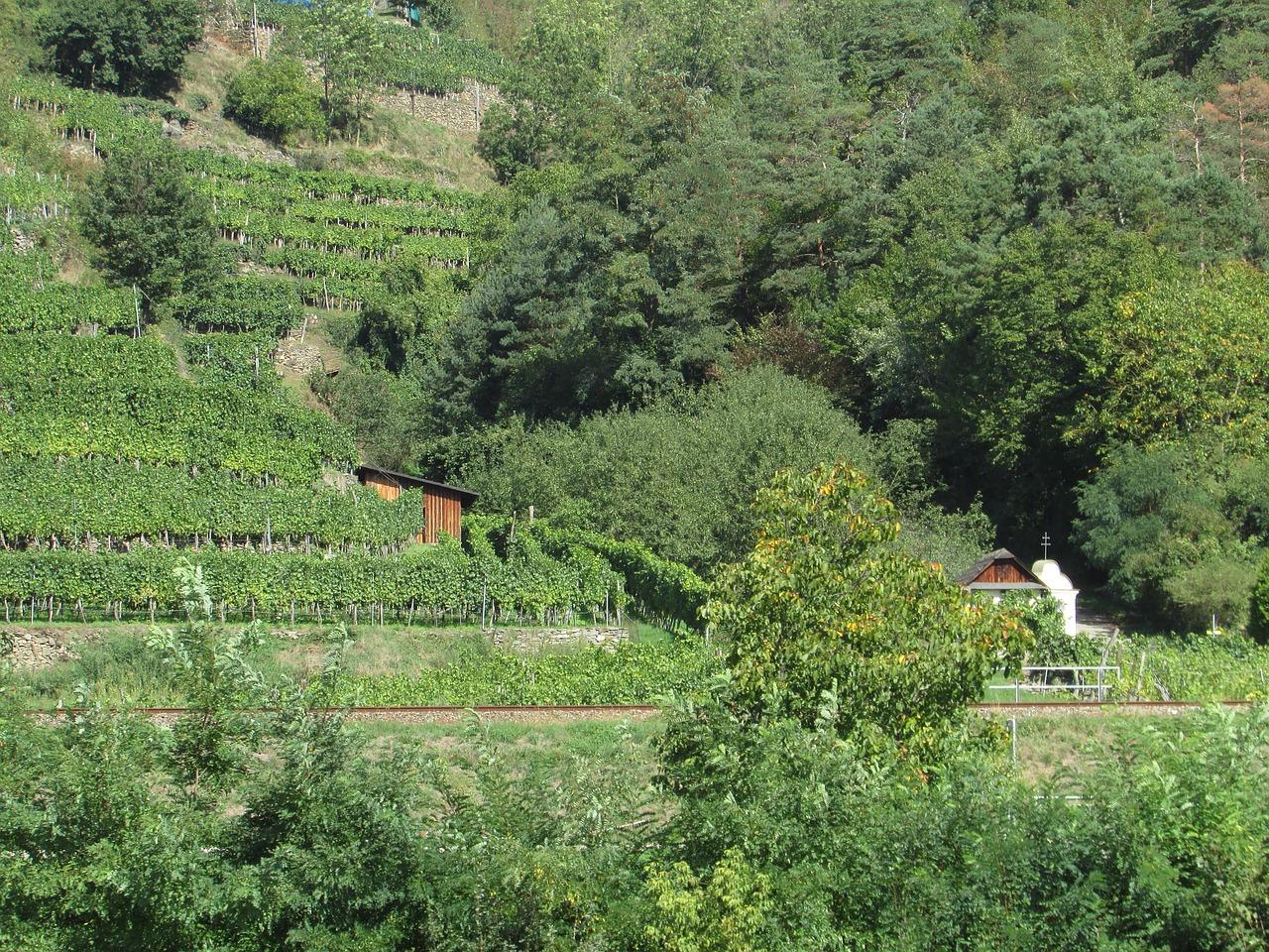 Долина Вахау_vineyards_виноградники