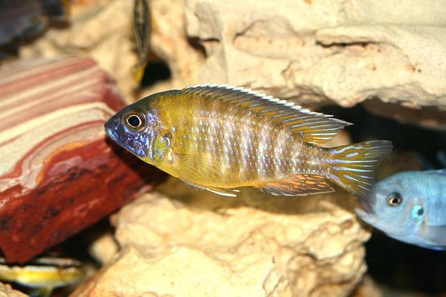 Цихлид aulonocara-baenschi